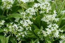 Wild Garlic - leaves with flowers