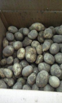 jersey new potatoes, jersey mids