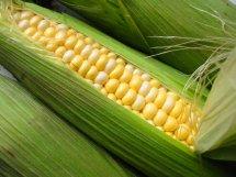 fresh corn on the cob, sweetcorn in a husk