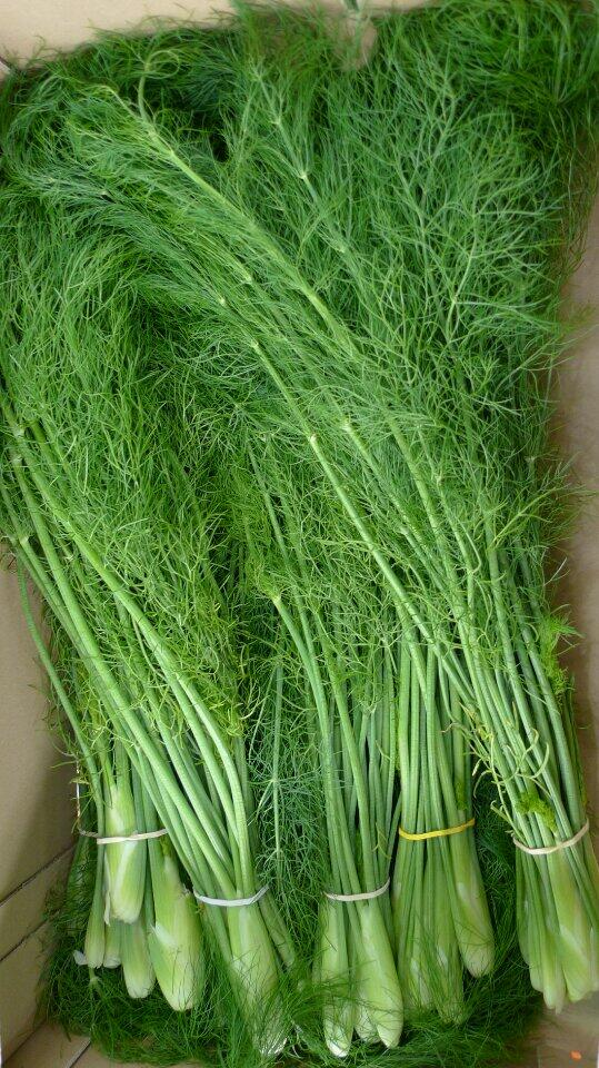 baby fennel bunches with tops