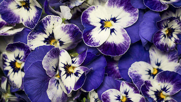 Close up of Edible Violet Flowers